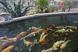 Japanese koi fish pond